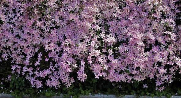 Виткі рослини – такі різні, але такі подібні: види та групи ліан