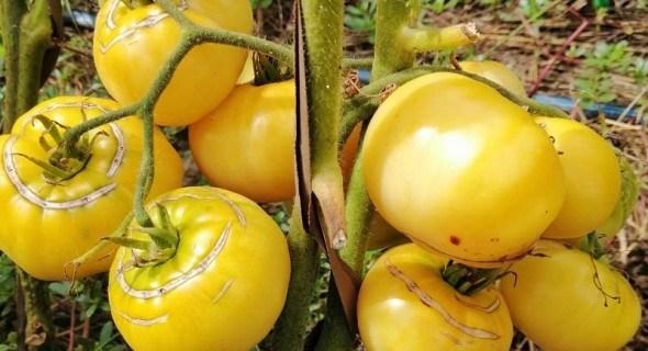 Помідорний код: вирощування продуктивних сортів в несприятливих умовах