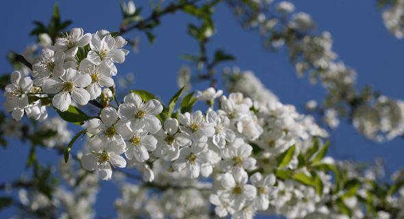 Особенности обрезки слаборослых деревьев черешни