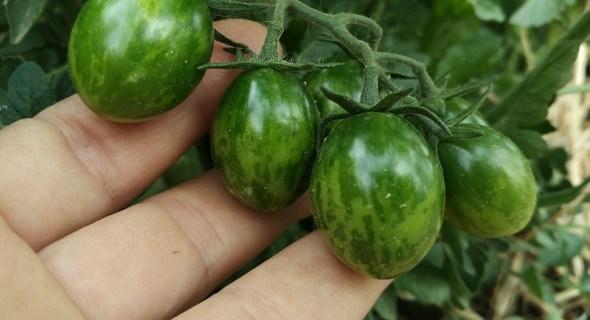 З повагою до томатів-чері: від посіву до врожаю