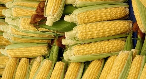 Маїсові солодощі: сорт цукрової кукурудзи Айова Світ