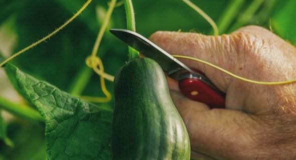 Деяких доведеться поквапити: збираємо врожай городини