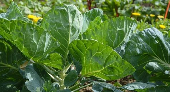 Природний захист: рецепти рослинних препаратів з інсектицидними та фунгіцидними властивостями
