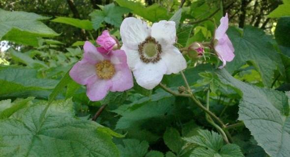 Для краси та аромату: малина прекрасна і малина запашна