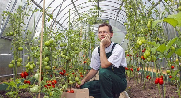Борьба с трипсами в теплице: как спасать растения?