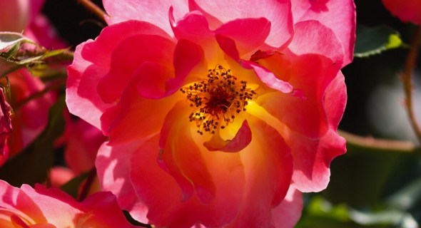 Дикі родички троянд: види шипшини у дизайні саду