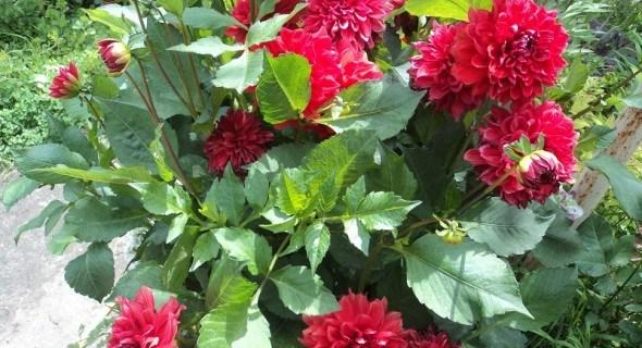 Жоржина Елен Х'юстон: у контейнері і квітнику