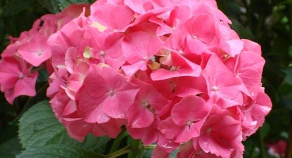 Квіти, що зачаровують: види та сорти гортензій у дизайні саду