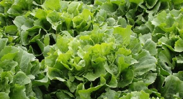 Вирощуємо цикорні салати: ендивій, ескаріол та вітлуф