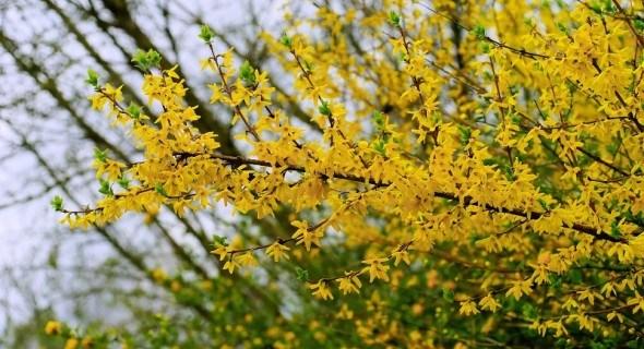 Садові дива: квітучі та декоративні рослини для весняного цвітіння
