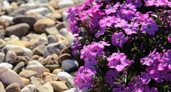 Пишні, яскраві, невибагливі: вибираємо рослини для альпінарія