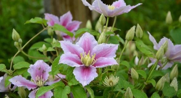 Море прекрасних квітів: групи обрізки клематисів для гарного цвітіння