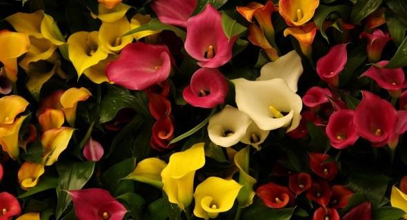 Яскраві красуні – зантедескії: вирощуємо різнобарвні сорти кали