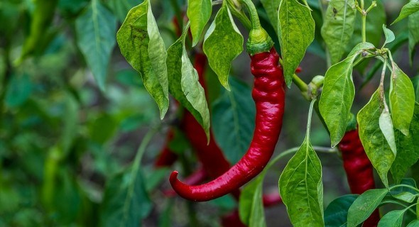 Вирощуємо стручковий перець: червоний, гіркий, пекучий
