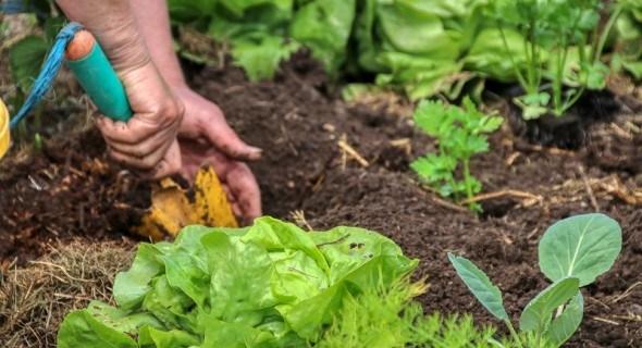 Ще не пізно сіяти: зеленні культури для осіннього споживання