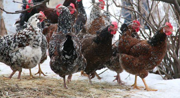 7 правил ухода за домашней птицей зимой