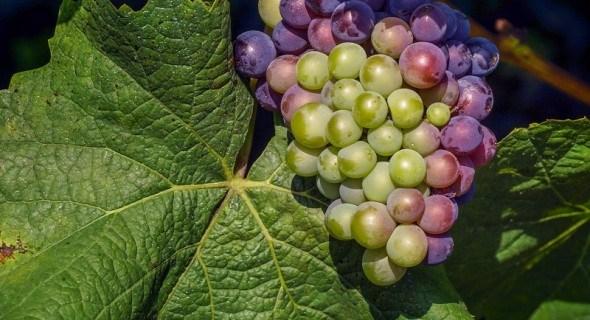 Стійкі амури: далекосхідні сорти та гібриди винограду