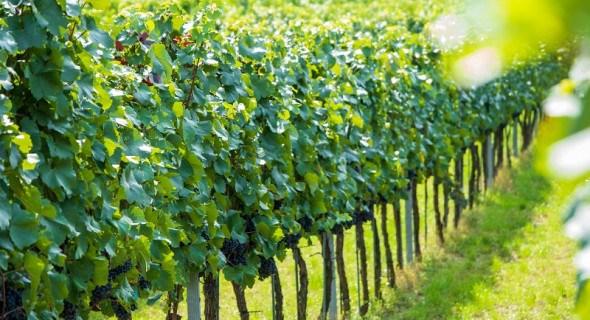 Лише рік замість двох: особливості та переваги зимового щеплення винограду