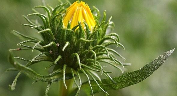 Гринделія – диво прерій: лікувальні властивості та особливості рослини