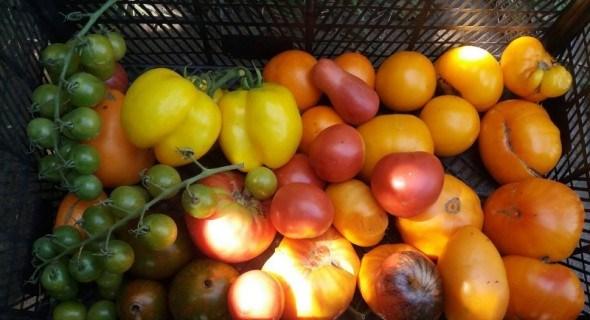 """В оточенні екзотики: вирощуємо """"коллекційні"""" сорти помідорів"""