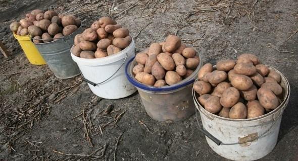 Картопля у кошику: надійні сорти для гарного врожаю