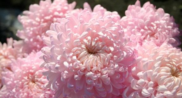Де зимують хризантеми? Зберігаємо маточні кущі великоквіткових сортів