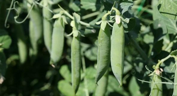 Срібний призер грядок: вирощуємо бобові культури