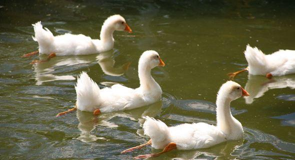 Какой уход необходим подросшим гусятам?
