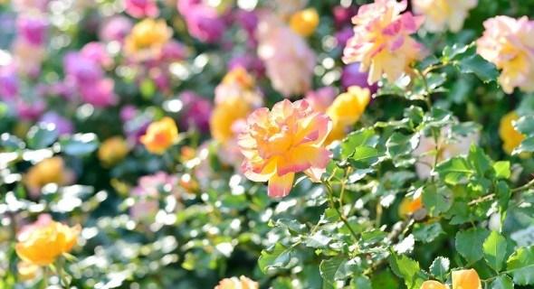 Благоуханны и пышны: современные виды и сорта роз