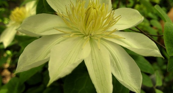 Колір мудрості та багатства: сорти клематисів з жовтими квітками