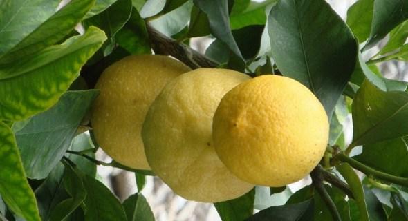 Зважимо все: переваги та недоліки сортів лимона для захищеного ґрунту