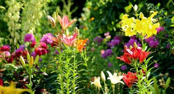 Прекрасні лілії у садибі: вивчаємо основи осінньої посадки різних видів та гібридів