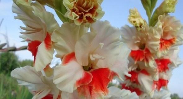 Хвала хранителям краси: як доглядати за колекцією гладиолусів