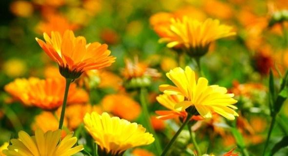 Сонячна квітка: цілющі властивості календули