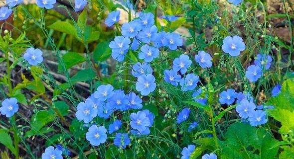 Тендітний красень: види декоративного льону у садибі