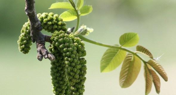 Дерево достатку: як особливості цвітіння волоських горіхів впливають на їх урожайність
