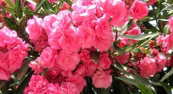 Квітка нереїд: прекрасна, цілюща, небезпечна...