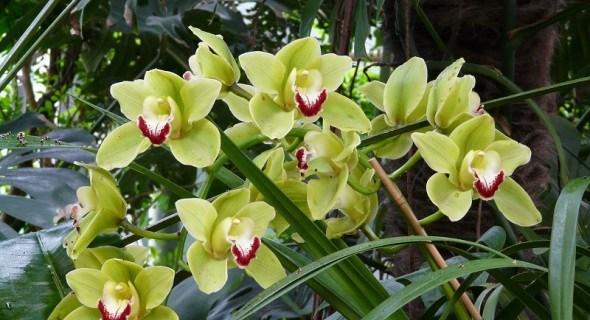 Король пахощів серед орхідей: особливості вирощування цимбідіума