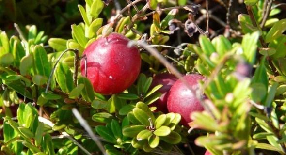 Соковита, з кислинкою: вирощуємо великоплідну американську журавлину