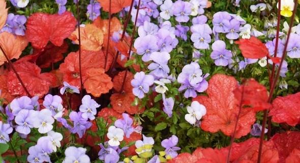 Гейхера: виразна краса у саду