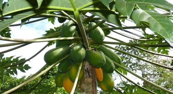 З самого серця тропіків: вирощуємо папайю в зимовому саду
