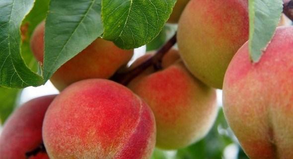 Персик требует заботы: посадка и уход в зоне риска