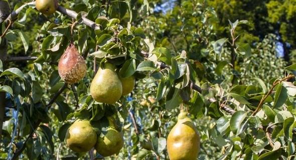 Хвороби – підступні: захист плодового саду після цвітіння