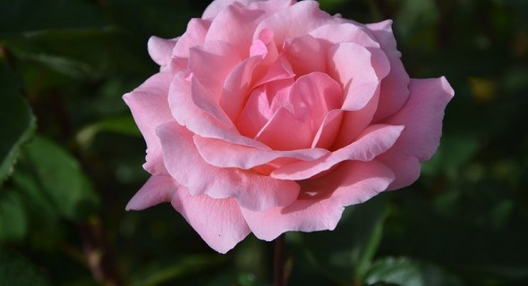 Захист троянд від хвороб та шкідників