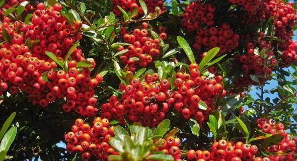 Зоряна осінь піраканти: вирощуємо у садибі