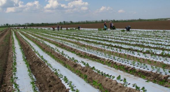 Технологія вирощування перцю у відкритому ґрунті