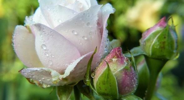 Троянди, свіжі та прекрасні: бутони і пелюстки в домашній кулінарії, косметології та медицині
