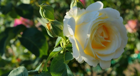 Декоративний впродовж сезону: правила створення квітучого розарію у садибі