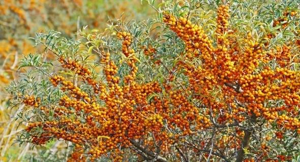 Скромна цілителька – обліпиха: вирощуваня, корисні властивості, вживання у їжу