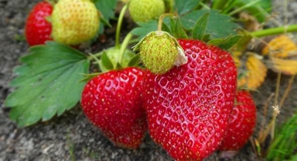 Домашній розплідник: вирощуємо розсаду садової суниці